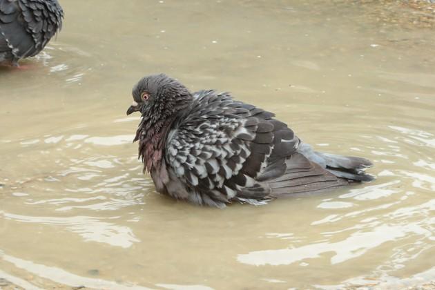 鳩の水浴び写真