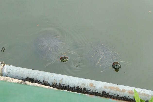 星合池の亀