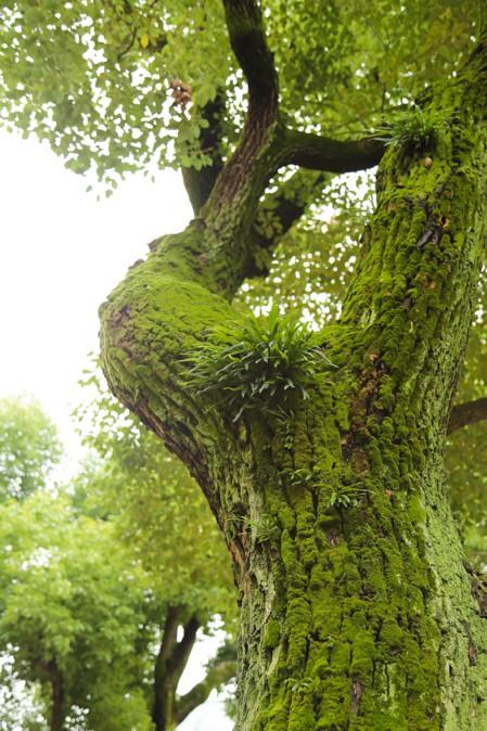 大阪天満宮のこだまが出てきそうな木